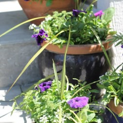 How to pot annuals ~ Gardening 101