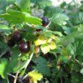 IMG_goose-berry0001
